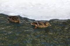 一只野鸭在河游泳 免版税库存照片