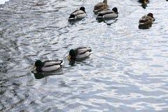 一只野鸭在河游泳 库存照片