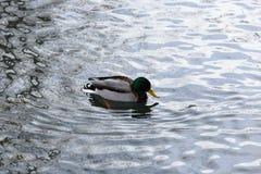 一只野鸭在河游泳 图库摄影