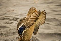 一只野鸭在特写镜头湖游泳 库存照片
