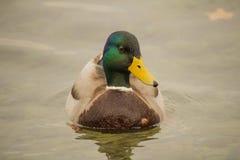 一只野鸭在特写镜头湖游泳 库存图片