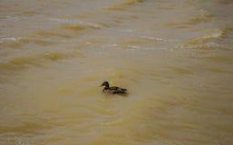 一只野鸭沿河的波浪游泳 背景 免版税库存照片