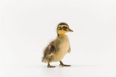 一只野鸭的滑稽的鸭子在白色背景的 图库摄影