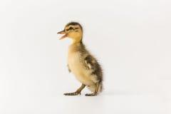 一只野鸭的滑稽的鸭子在白色背景的 库存照片