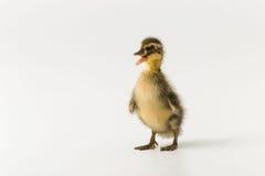 一只野鸭的滑稽的鸭子在白色背景的 免版税图库摄影