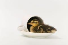 一只野鸭的滑稽的鸭子在白色背景的 库存图片