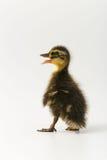 一只野鸭的滑稽的鸭子在白色背景的 免版税库存图片