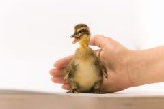一只野鸭的滑稽的鸭子在白色背景的 免版税库存照片