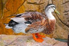 一只野鸭鸭子的画象在一个晴天 公鸭子 一只松弛野鸭鸭子的特写镜头 低头湖 在通配的动物 免版税库存图片