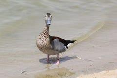一只野鸭鸭子的画象在湖的 免版税库存图片