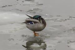 一只野鸭,当红色爪子,站立在冰川 鸭子清洗羽毛 免版税库存照片
