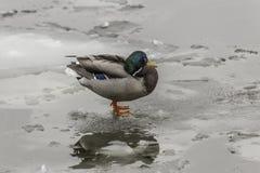 一只野鸭,当红色爪子,站立在冰川 图库摄影
