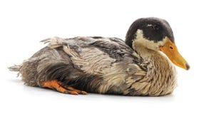 一只野鸭 免版税库存图片