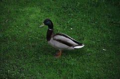 一只野鸭 免版税图库摄影