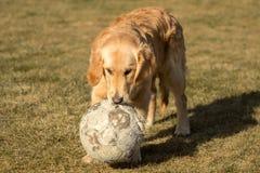 一只金毛猎犬充当外面庭院 图库摄影