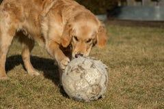 一只金毛猎犬充当外面庭院 库存图片