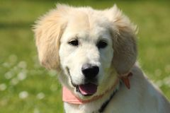一只金毛猎犬小狗的画象与桃红色围巾的 图库摄影