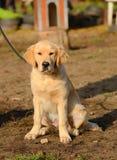 一只金毛猎犬的图片 库存照片