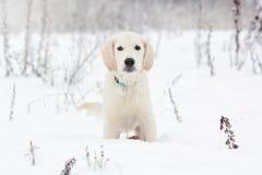 一只金毛猎犬的小狗坐 免版税库存照片