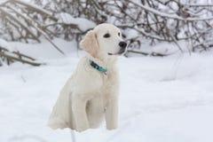 一只金毛猎犬的小狗 库存照片