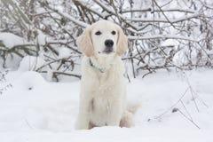 一只金毛猎犬的小狗 免版税图库摄影
