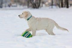 一只金毛猎犬的小狗 免版税库存照片