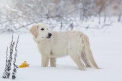 一只金毛猎犬的小狗 库存图片