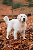 一只金毛猎犬的画象在森林里 库存照片