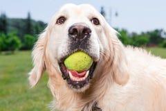 一只金毛猎犬的纵向 免版税库存图片