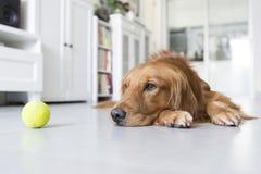 一只金毛猎犬 免版税库存照片