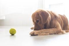 一只金毛猎犬 图库摄影