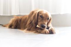 一只金毛猎犬 免版税图库摄影