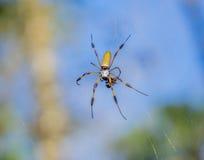 一只金黄丝绸蜘蛛在一只小昆虫用餐 免版税库存图片