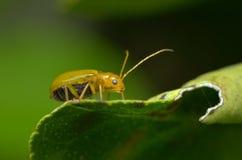 一只金黄甲虫 库存图片