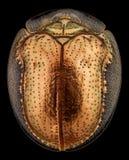 一只金黄草龟甲虫的顶视图 免版税库存图片