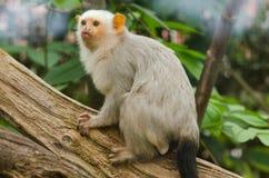 一只银色小猿 库存图片