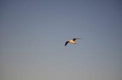 一只银色鸥在飞行中在Aspendale海滩,墨尔本,澳大利亚 库存图片