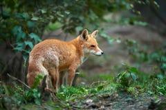 一只镍耐热铜狐狸狐狸的画象 图库摄影
