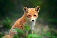 一只镍耐热铜狐狸狐狸的画象 免版税图库摄影