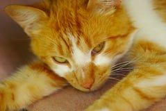一只镶边姜白色猫的纵向 库存图片