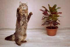一只镶边毛茸的猫在榕属旁边跳舞 免版税库存图片