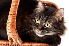 一只镶边猫的纵向在篮子的 库存照片
