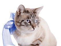 一只镶边猫的画象与一卷蓝色磁带的 免版税库存照片