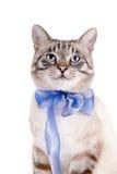 一只镶边猫的画象与一把蓝色弓的 库存照片