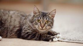 一只镶边猫的画象与黄色眼睛的 免版税库存图片