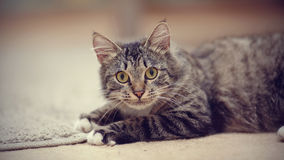 一只镶边猫的画象与黄色眼睛的 库存照片