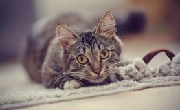 一只镶边猫的画象与黄色眼睛的 免版税库存照片