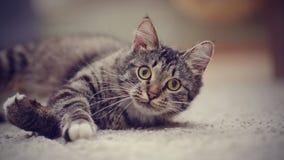 一只镶边猫的画象与黄色眼睛的 库存图片