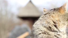 一只镶边猫的画象 影视素材