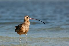 一只长嘴鸟的麻鹬在浅水区趟过 免版税图库摄影